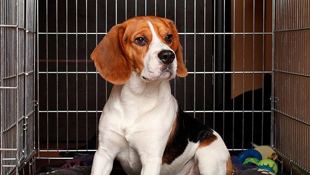 Über 300 Hunden droht der Tod im Versuchslabor (Bild: thinkstockphotos.de)