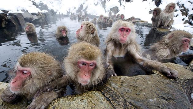 Anatomie ließe Affen sprechen, ihr Gehirn nicht (Bild: EPA)