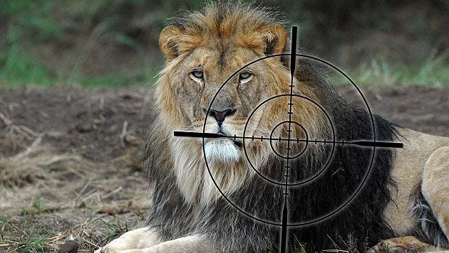 """Studie alarmiert: Löwen bald vom Aussterben bedroht (Bild: """"Vier Pfoten"""")"""