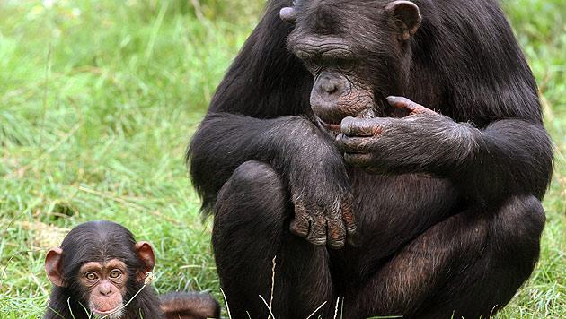 Das Erbgut von Menschen und von Schimpansen ist zu 99 Prozent identisch. (Bild: dpa/Holger Hollemann)