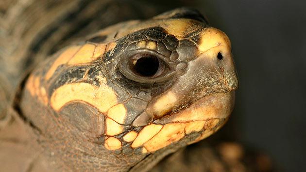 Schildkröte überlebt 30 Jahre in Abstellkammer (Bild: thinkstockphotos.de (Symbolbild))
