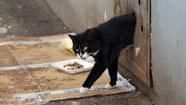 Regierung in Minsk mauert Streunerkatzen ein (Bild: AP)