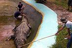 Gr��tes Krokodil der Welt auf Philippinen gestorben (Bild: EPA)