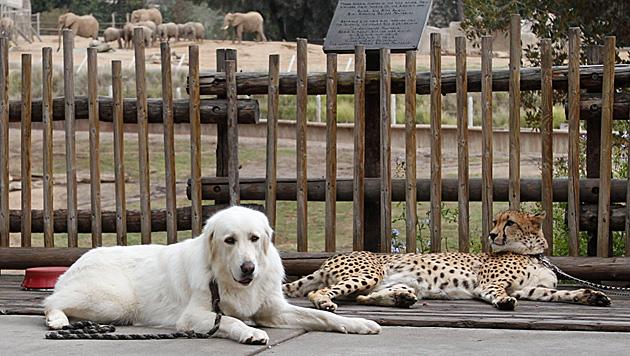 Hunde helfen Geparden in Zoos beim Entspannen (Bild: AP)