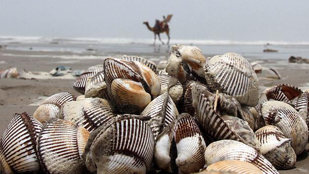 Ozean-Erw�rmung l�st Muscheln vom Meeresgrund (Bild: EPA)