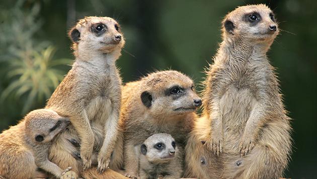 Erdmännchen schicken bei Gefahr Rangniedere vor (Bild: dpa/Wilhelma)