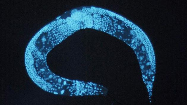 Langsamer atmen und weniger fressen h�lt W�rmer fit (Bild: National Human Genome Research Institute)