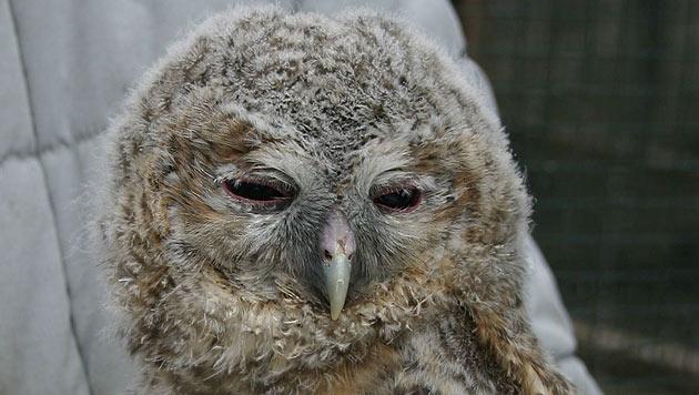 Aus dem Nest geplumpster Waldkauz gerettet (Bild: EGS/Sigrid Frey (Symbolbild))