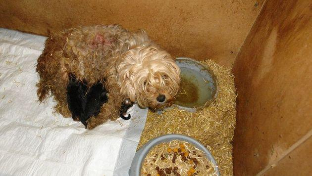 Welpenhändler verdienen mit Tierleid Millionen (Bild: Vier Pfoten)