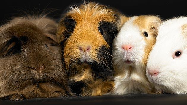 Ein neuer Partner für einsame Meerschweinchen (Bild: thinkstockphotos.de)