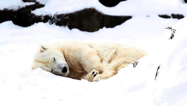 UN-Konvention: Ja zum Schutz für Eisbären und Haie (Bild: EPA)