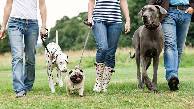 Tipps für eine harmonische Mehrhundehaltung (Bild: thinkstockphotos.de)
