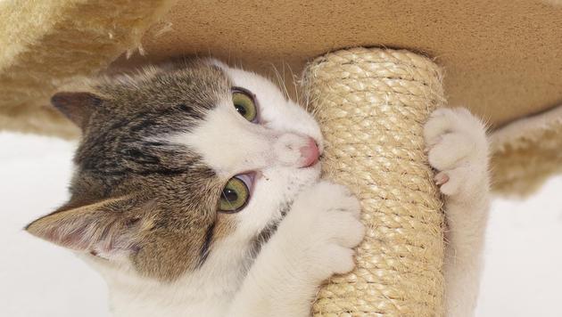 So vermeiden Sie, dass Ihre Katze Möbel zerkratzt (Bild: thinkstockphotos.de (Symbolbild))
