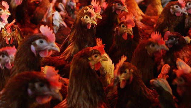 Aufs Huhn gekommen: Boom bei Geflügel-Haltung (Bild: APA/HELMUT FOHRINGER (Symbolbild))