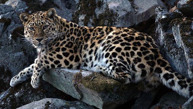 Bestand der Amur-Leoparden in Russland erholt sich (Bild: WWF/Valerii Maleev (Symbolbild))