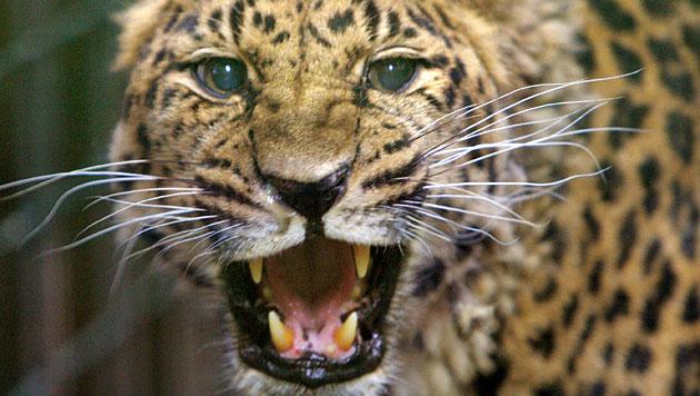 Bestand der Amur-Leoparden in Russland erholt sich (Bild: dpa/Bernd Thissen)