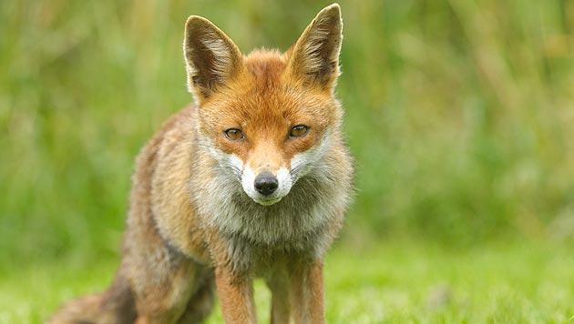 Hundezüchter soll zum Training Fuchs gequält haben (Bild: thinkstockphotos.de)