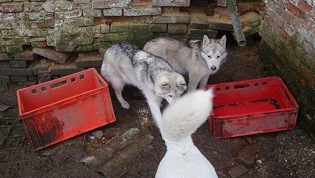 D: Hilfe f�r 50 vernachl�ssigte Huskys ben�tigt (Bild: Husky-Hof Aresing e.V.)