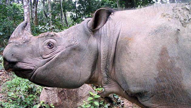 WWF jubelt über Lebenszeichen des Sumatra-Nashorns (Bild: EPA)