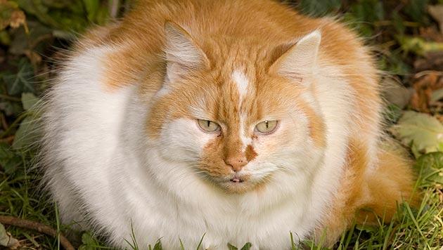 Schweizer Behörde verfügt Diät für dicke Katze (Bild: thinkstockphotos.de (Symbolbild))