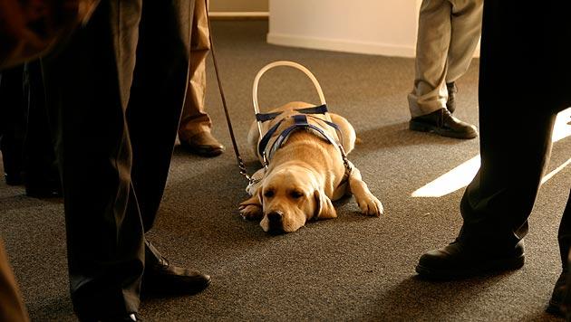 Wie belastet sind Blindenführhunde beim Führen? (Bild: thinkstockphotos.de (Symbolbild))