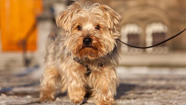 Wie Sie Ihrem Hund das Alleinesein beibringen (Bild: thinkstockphotos.de)