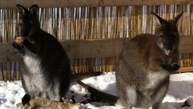 Fieberhafte Suche nach ausgebüxten Kängurus in NÖ (Bild: Gabriele Schrammel)
