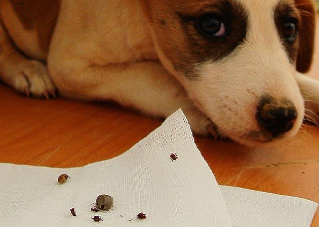 """Immer häufiger """"Hundemalaria"""" und """"Zeckenfieber"""" (Bild: Vier Pfoten/George Nedelcu)"""