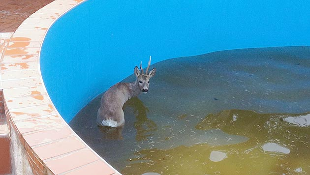 Bgld: Rehbock verirrte sich in Swimmingpool (Bild: APA/Johann Fellinger)