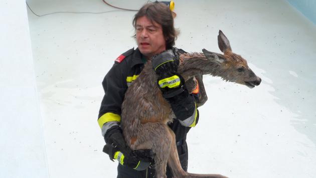 Feuerwehr rettet Reh aus Pool in Niederösterreich (Bild: APA/FF KRITZENDORF)