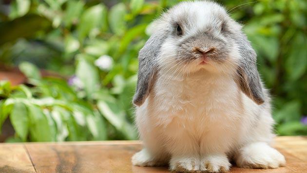Kaninchen überwintern gerne auf dem Balkon (Bild: thinkstockphotos.de (Symbolbild))