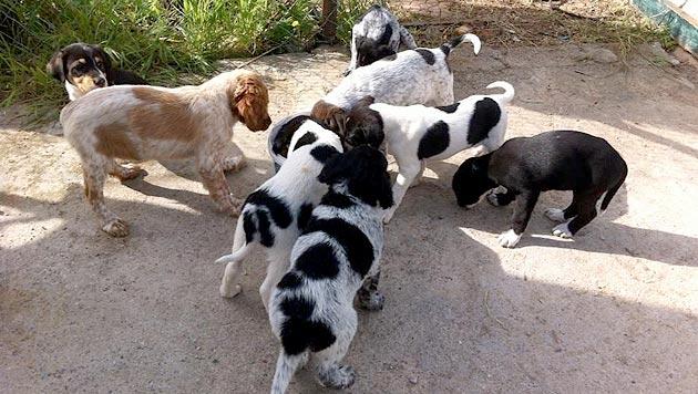 Tierfreundinnen helfen griechischen Streunerhunden (Bild: Pfotenhilfe Oropos)