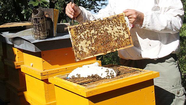 Virus-Klon soll gegen Bienensterben helfen (Bild: Jürgen Radspieler)