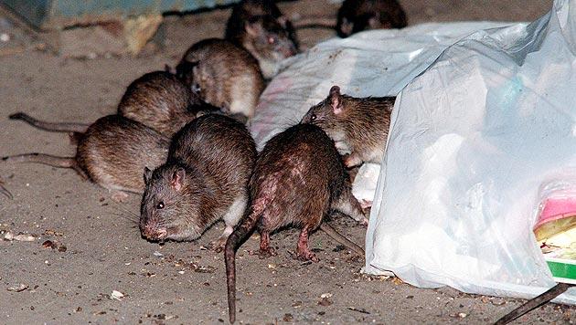 Rattenplage im Wohngebiet: Anrainer machen mobil (Bild: AP (Symbolbild))