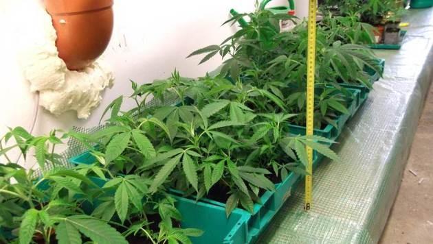 Cannabisplantage mit 328 Pflanzen in Salzburg entdeckt (Bild: Polizei)