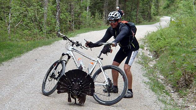 Balzender Auerhahn ritt zur Attacke auf Mountainbiker (Bild: Gernot Huemer)