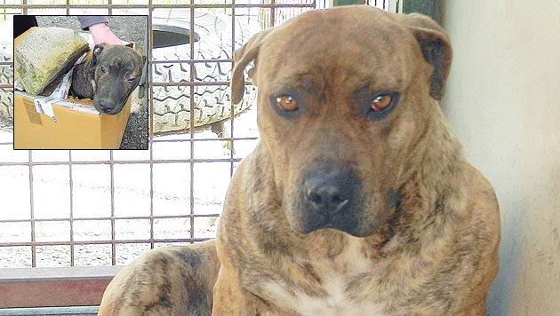 Tierquäler warf im Burgenland Hund über Tierheim-Zaun (Bild: Christian Schulter/Tierpension Schandl)