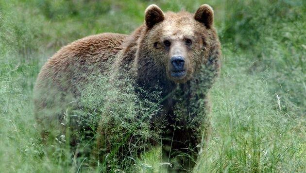 Begegnung mit Bären: Experten warnen vor Panik (Bild: dpa/Horst Ossinger (Symbolbild))