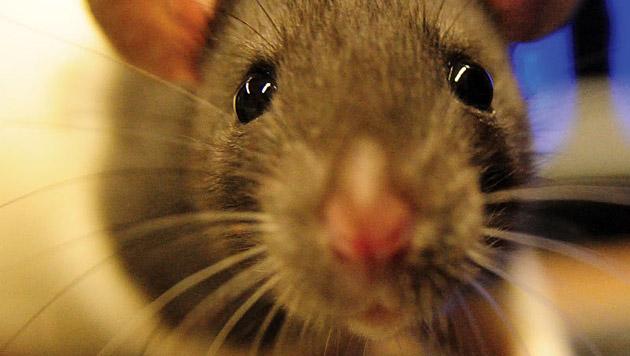 Ratte türmt durch WC und verwüstet Nachbarwohnung (Bild: MPI für biologische Kybernetik/Kerr)