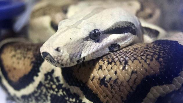 Schlange verendete qualvoll in Plastiksack (Bild: AP)