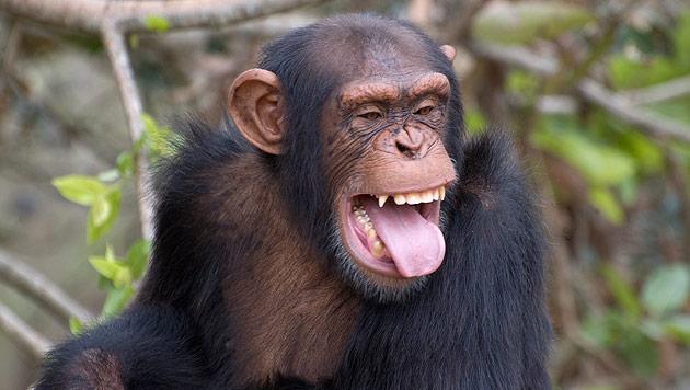 Letzter Schimpanse in deutschem Zirkus kommt frei (Bild: thinkstockphotos.de (Symbolbild))