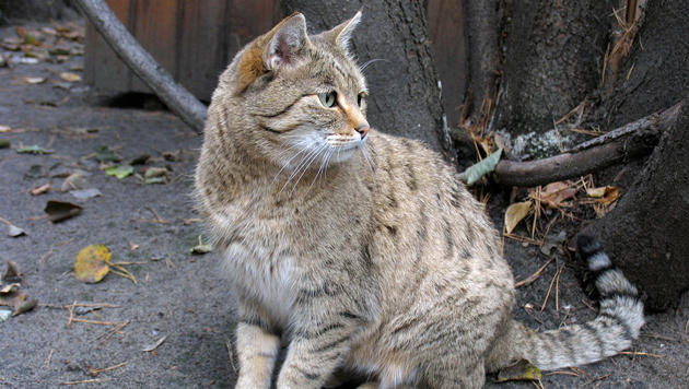 Katze flüchtete vor Brand und weckte ihr Herrchen (Bild: thinkstockphotos.de (Symbolbild))