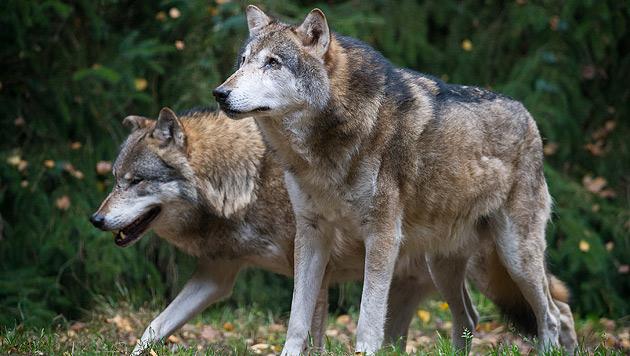 Wölfe lernen besser von Artgenossen als Hunde (Bild: dpa-Zentralbild/Patrick Pleul)