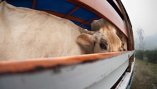 Behörden deckten Mängel bei Tiertransporten auf (Bild: thinkstockphotos.de (Symbolbild))