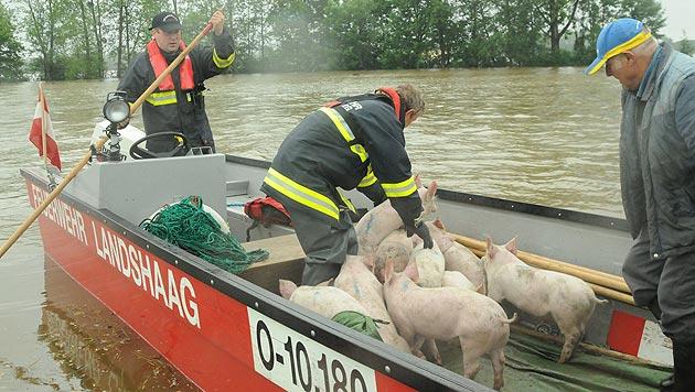 Unzählige Tiere vom Hochwasser bedroht (Bild: Kronen Zeitung)
