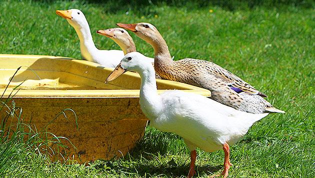 """""""Rent an Ent"""": Clevere Idee oder Stress für die Tiere? (Bild: fotolia.de)"""