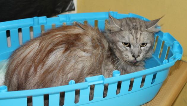 W: Hochträchtige Katze in Koffer gezwängt (Bild: Tierschutzverein)