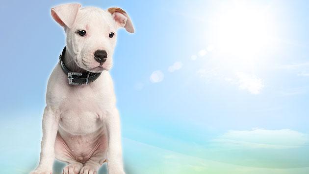 Hund von Grazer Besitzerin brutal misshandelt (Bild: thinkstockphotos.de, krone.at-Grafik (Symbolbild))
