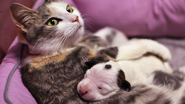 """Katze """"Lurlene"""" ist Amme eines Pit-Bull-Welpen (Bild: AP)"""