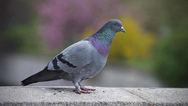 ÖBB will Tauben in Sbg von ihrem Grundstück haben (Bild: dpa/Jan-Philipp Strobel (Symbolbild))